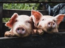 """金新农定增加码生猪养殖 子公司环保""""罚单""""单笔达百万元"""