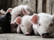 """""""二师兄""""价格大幅上涨 养猪企业2月增收明显"""